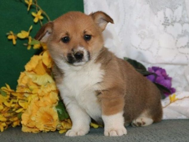 Sweet Male And Female Pembroke Welsh Corgi Puppies Key Largo Florida