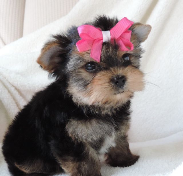 Rikki Pretty Sweet Yorkie Puppy Denver Colorado Pets For Sale