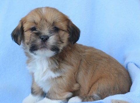 Lhasa Apso Puppies For Sale Denver Colorado Pets For Sale Classified