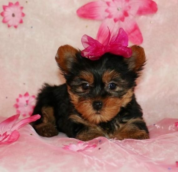 Teacup Yorkie Puppies For Sales Concord Vermont Pets For Sale