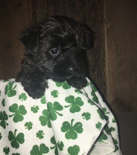 Cairn Terrier Puppies For Sale Concord Vermont Pets For Sale
