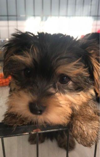 30 Beautiful Yorkie Puppies For Adoption San Jose California Pets