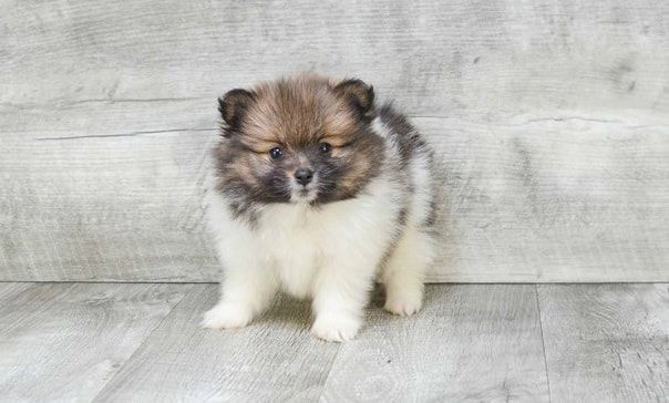 $Cute teacup Pomeranian puppies available