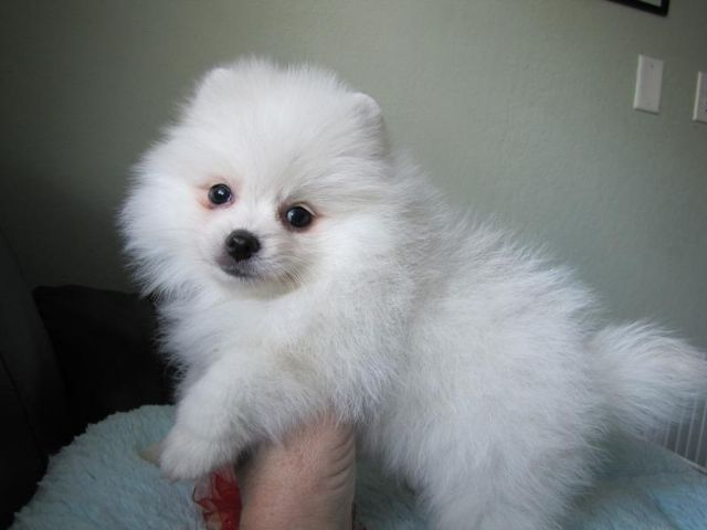 Purebred Tiny Pomeranian Puppies For Sale Des Moines Iowa Pets For