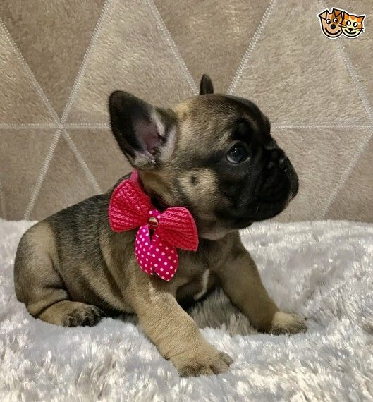 French Bulldog Puppies Reduced Price Share Twee Colorado Springs