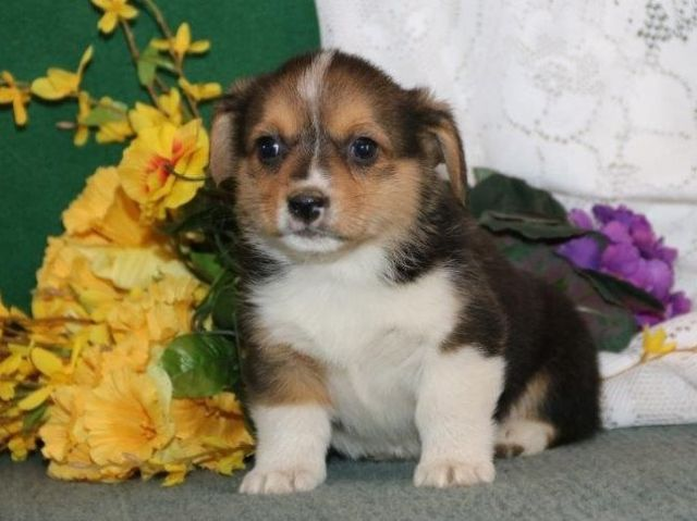 Pembroke Welsh Corgi For Rehoming Naples Florida Pets For Sale