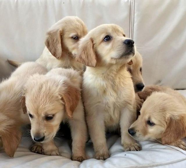 Golden Retriever Puppies Albert Lea Minnesota Pets For Sale