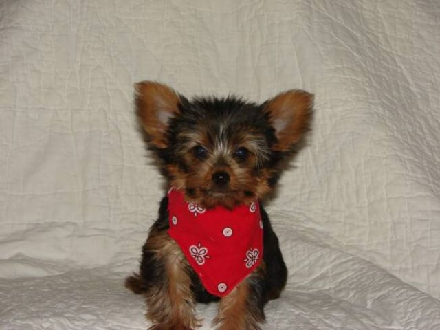 Teacup And Toy Yorkie Puppies El Paso Texas Pets For Sale Classified