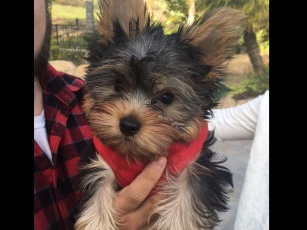 Affectionate And Charming Yorkies Puppies For A Corpus Christi Texas