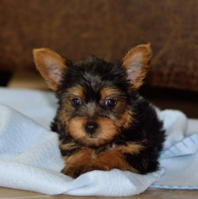 Charming Akc T Cup Yorkie Puppies Corpus Christi Texas Pets For Sale