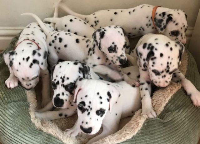 Magic Dalmatian Puppies Needs New Home Corpus Christi Texas Pets For