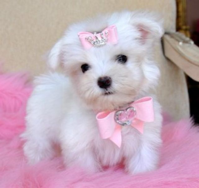 Cheap Maltese Puppies For Sale Akc Registered Monroe Louisiana