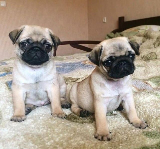 Two Cute Pug Puppies For Free Adoption San Jose California Pets For