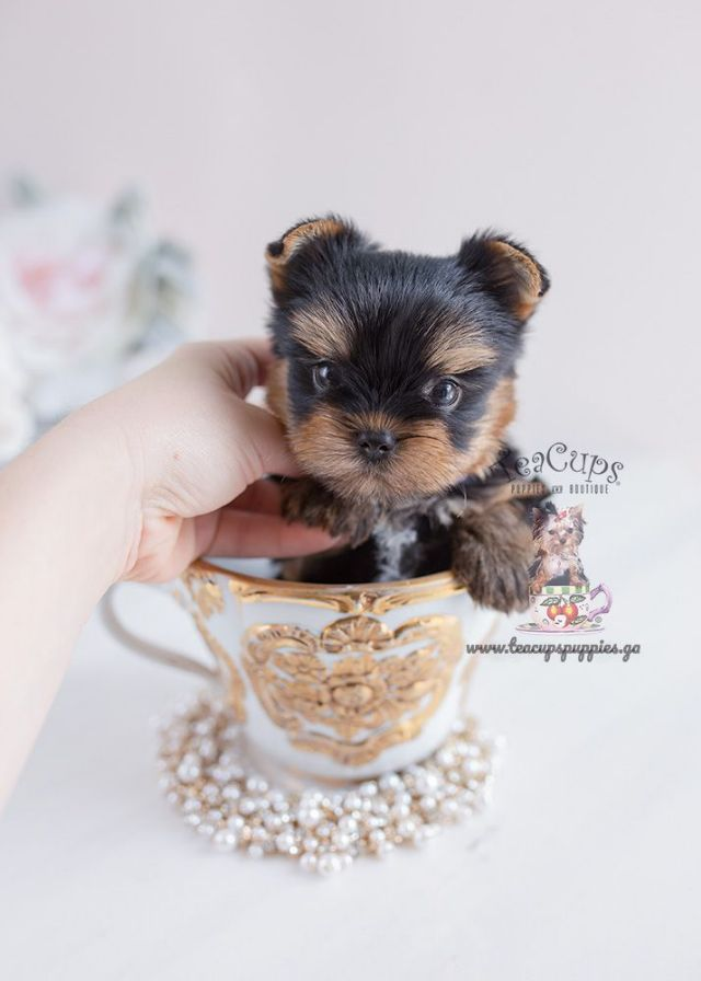 Adorable Teacup Yorkie Puppies For Sale Raleigh North Carolina Pets