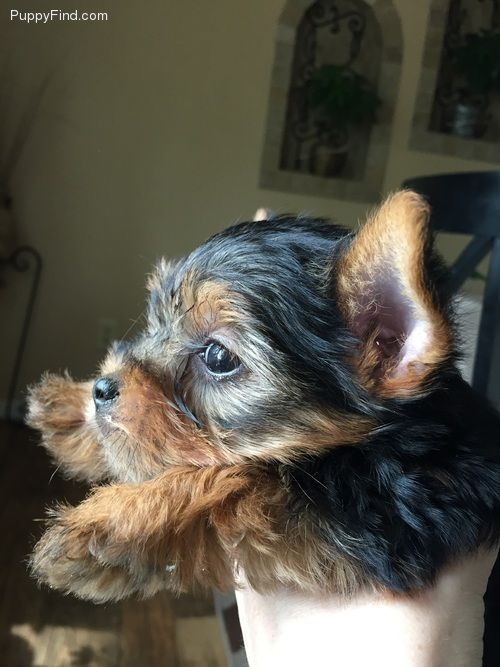 Akc Teacup Toy Yorkie Puppies Louisville Kentucky Pets For Sale