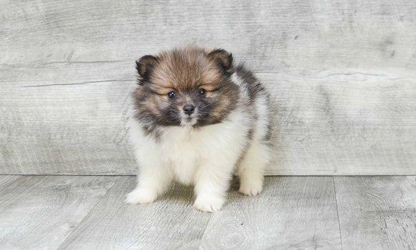Mnice Tiny Pomeranian Puppies For Sale Bowling Green Kentucky Pets