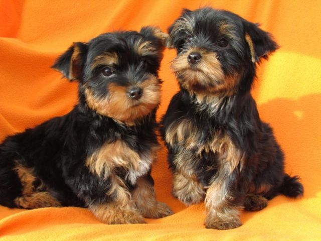 Yorkshire Terrier Puppies Now Ready Tulsa Oklahoma Pets For Sale