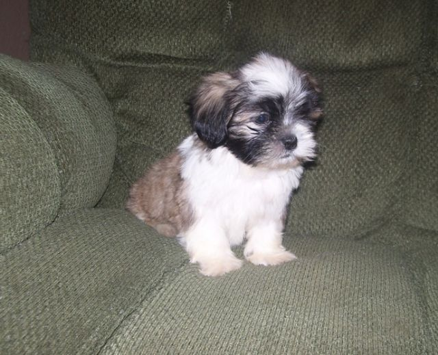 Shih Tzu Puppies For Homes Terre Haute Indiana Pets For Sale
