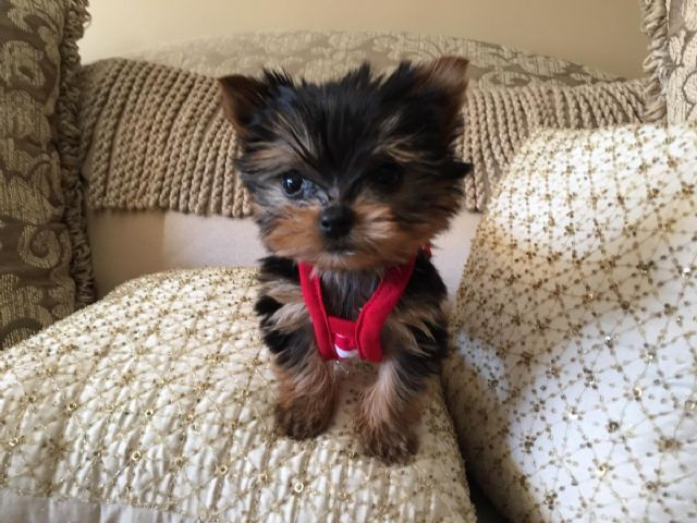 Cute And Tiny Baby Doll Face Yorkie Peoria Illinois Pets For Sale