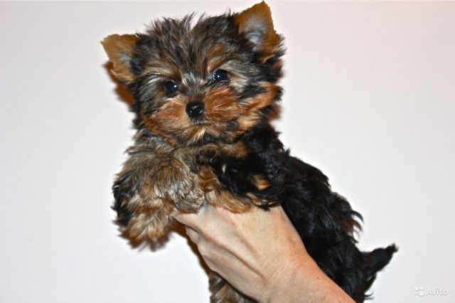 Very Healthypotty Trained Teacup Yorkie Puppies Fayetteville