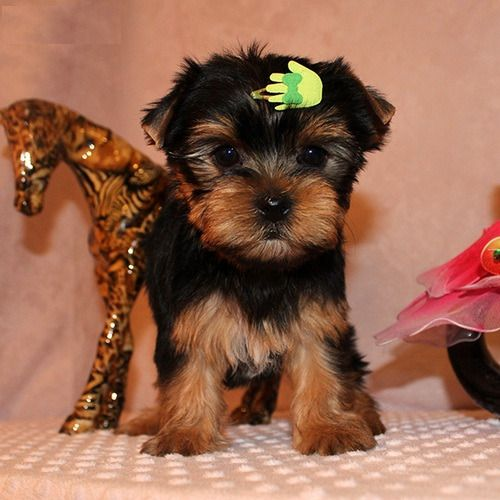 Akc Playful Yorkie Puppies For Sale Rock Hill South Carolina Pets