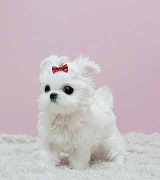 Healthy Teacup Maltese Puppies Iowa City Iowa Pets For Sale