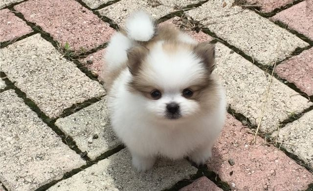 Friendly Pomeranian Puppies Available