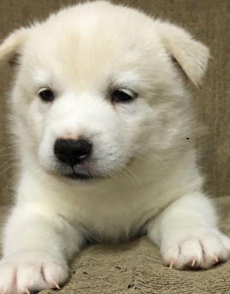 Advantageous Pomsky Puppies For Sale Cedar City Utah Pets For Sale