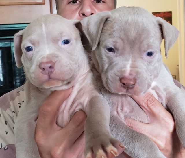 Pitbull Pups for You! Blue and Champagne UKC