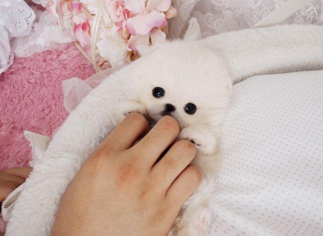 Teddy Bear Face Pomeranian Puppies Anchorage Alaska Pets For Sale