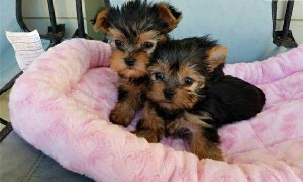 Teacup Yorkie Puppies Male And Female For Adoption Atlanta Georgia