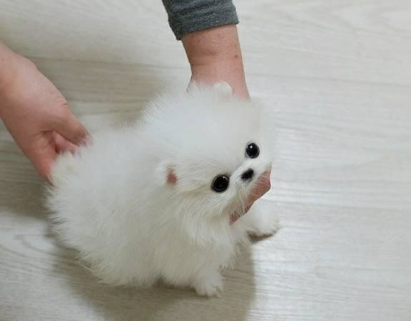 Female Teacup Pomeranian Puppy Available Columbia Missouri Pets For