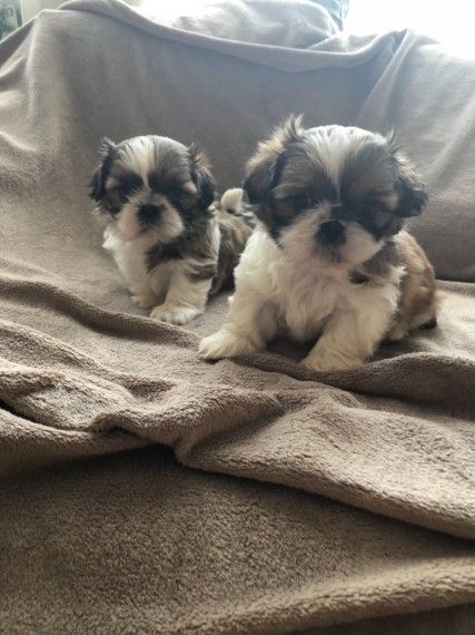 Nelmicro T Cup Shih Tzu Puppies For Sale Bridgeport Connecticut