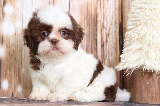 Beautiful Shih Tzu Puppies For Sale Santa Barbara California Pets