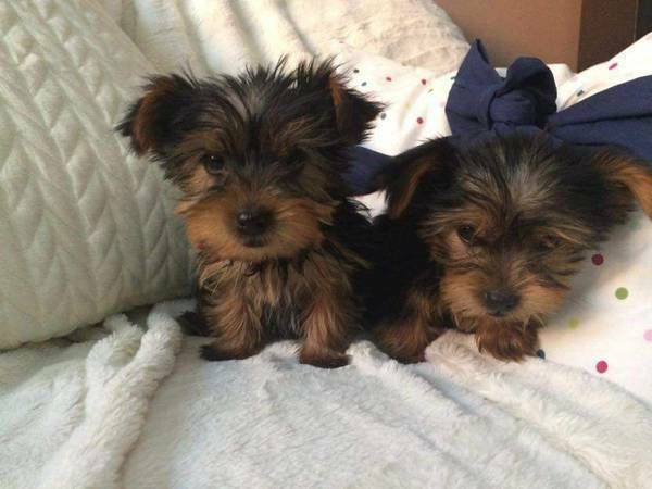 Gorgeous Teacup Yorkie Puppies For Free San Bernardino California