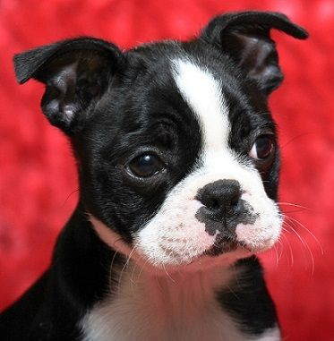 Good Boston Terrier Puppies Available For Sale Colorado Springs