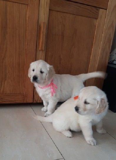 Caring Golden Retriever Puppies Colorado Springs Colorado Pets For