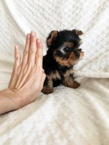 Adopt Teacup Yorkie Puppies Blacksburg Virginia Pets For Sale