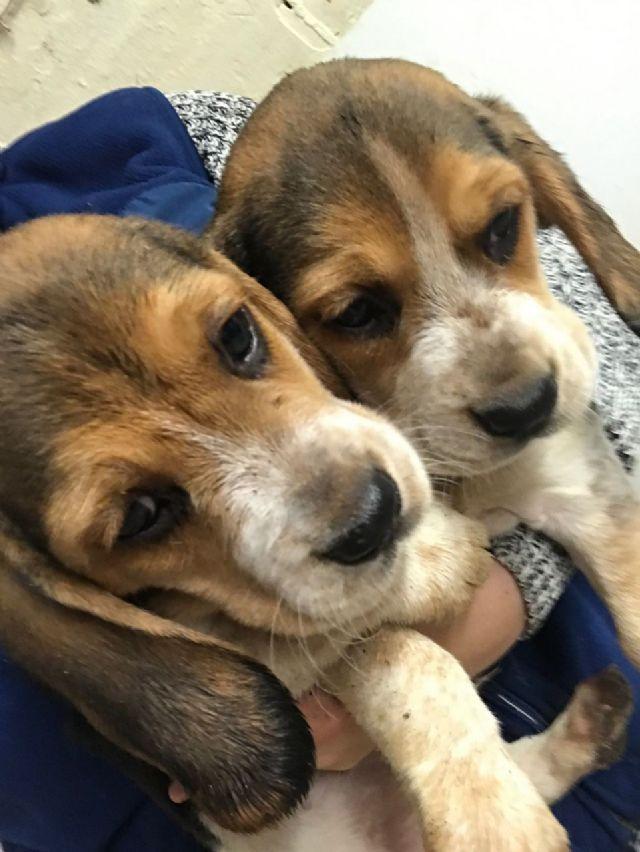Pedigree Beagle Pups For Sale Daytona Beach Florida Pets For Sale