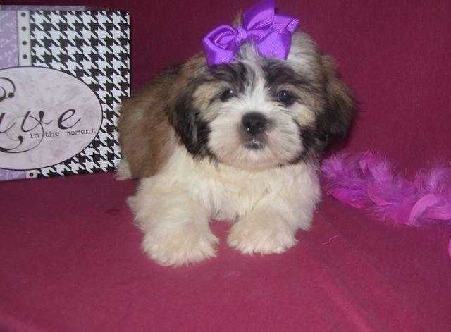 Shi Tzu Puppies For Sale Worthington Minnesota Pets For Sale