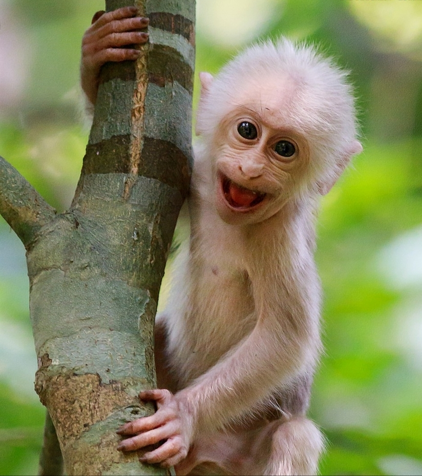 Macaque | Innocent Smile