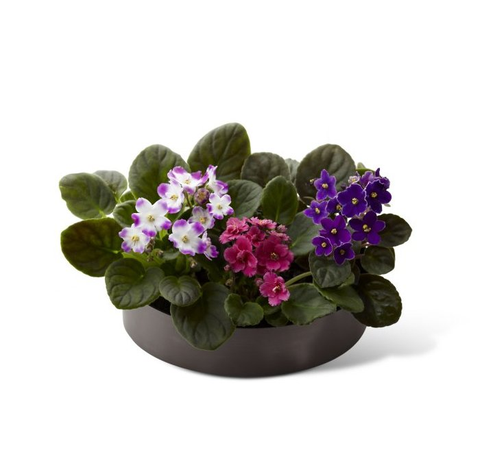 Image of 3562 African Violets from Santa Barbara Flowers