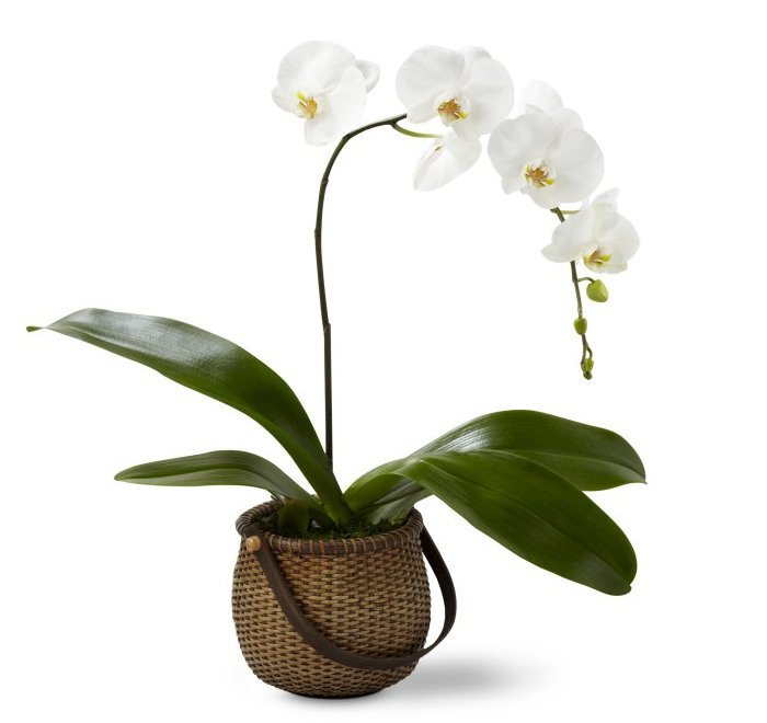 The FTD® White Phalaenopsis Orchid blooms with exquisite white flowers to create a gift of stylish simplicity and grace. A stunning white single stem Phalaenopsis Orchid plant showcases its gorgeous exotic blooms presented in a deep round woven handled basket to create a look of natural elegance that conveys your sweetest sentiments. 5 plant.