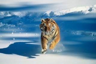 Siberian-tiger-running-through-snow-tom-brakefield-getty-images-200353826-001