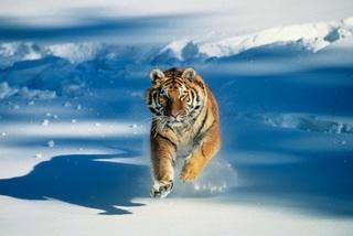 Siberian-tiger-running-through-snow-tom-brakefield-getty-images-200353826-001