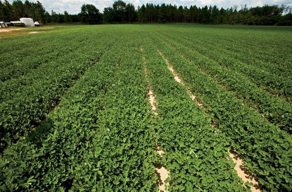 Peanut Planting Recommendations