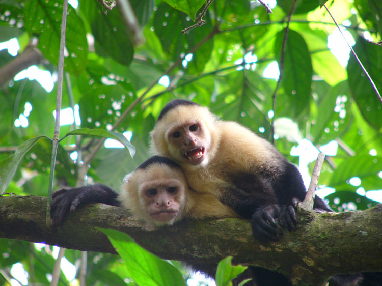 Two white-faced capuchin monkeys.