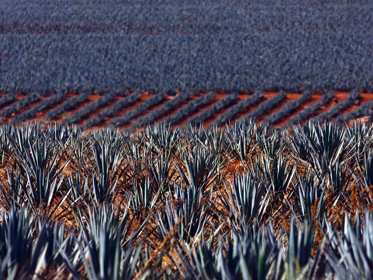 Agave fields in Jalisco.