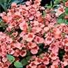 Delicious Diascia Twinspur Collection of 12 Plugs in Mixed Colours