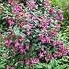 Pair of Flowering Fuchsia Columns